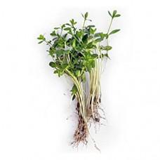 Мікрозелень льону 50гр