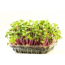 Мікрозелень червоної капусти 50гр