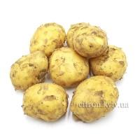 Картофель молодой белый немытый